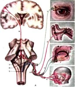 функциональная схема лицевого нерва