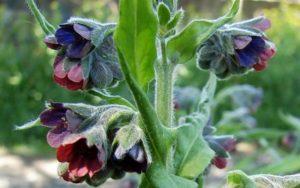Растение чернокорень