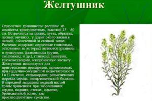 Сердечная трава - желтушник
